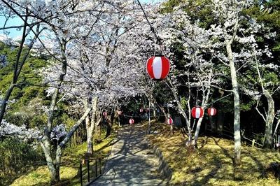 王子山公園の満開の桜5.jpg