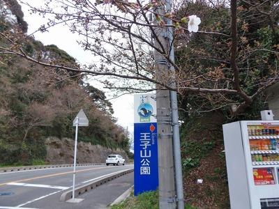 王子山公園入口の桜1輪.jpg