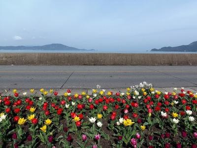 田屋のチューリップ1.jpg