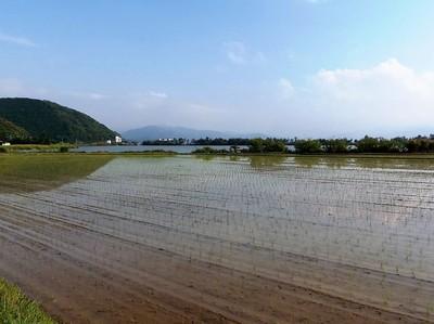 田植え後の田んぼ2.jpg