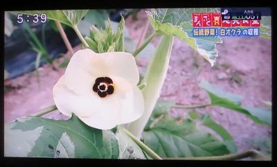 白オクラの花1.jpg