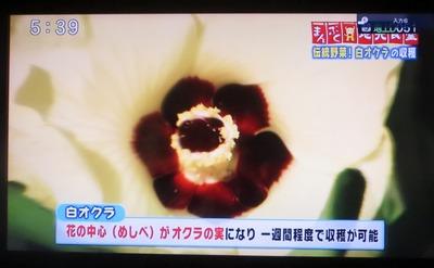 白オクラの花2.jpg