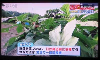 白オクラ収穫タイミング・保存.jpg