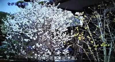 白梅4.jpg