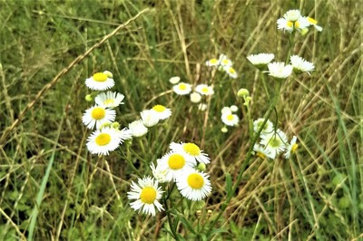 白色の花4.jpg