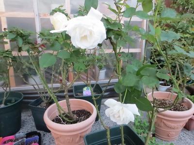 白薔薇1.jpg