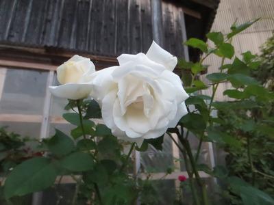 白薔薇2.jpg
