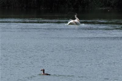 白鳥と小鴨.jpg