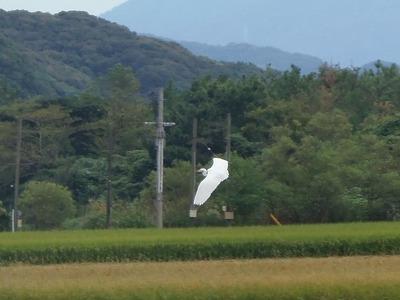 白鷺3.jpg
