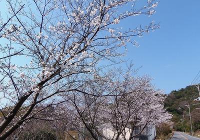 県道沿いの桜.jpg