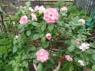 秋の薔薇1.jpg