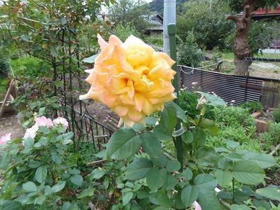 秋の薔薇2.jpg