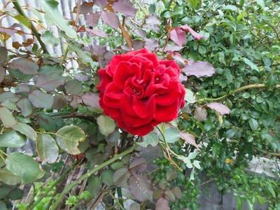 秋の薔薇3.jpg