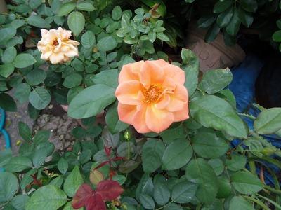 秋の薔薇4.jpg
