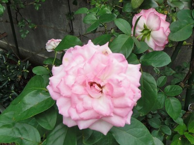 秋の薔薇5.jpg