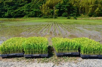 稲の苗.jpg