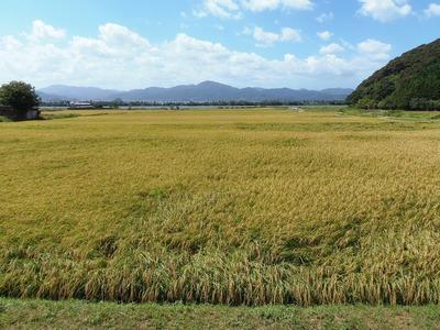 稲刈りを待つ黄金色の田んぼ1.jpg