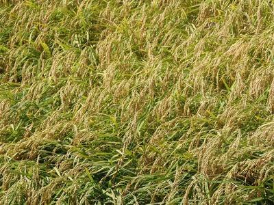 稲刈りを待つ黄金色の田んぼ2.jpg