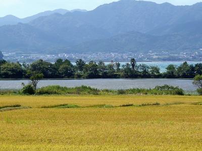 稲刈りを待つ黄金色の田んぼ4.jpg
