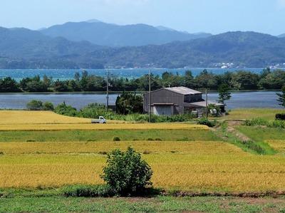 稲刈りを待つ黄金色の田んぼ5.jpg