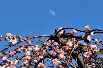 紅梅とお月様.jpg