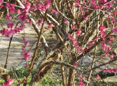 紅梅と野鳥.jpg