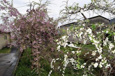 紅白の桜7.4.9.jpg