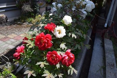 紅白牡丹1.jpg
