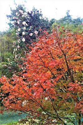紅葉と山茶花1.jpg