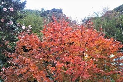 紅葉と山茶花2.jpg