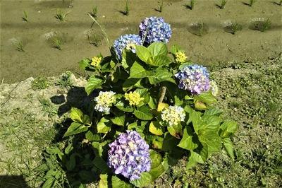 紫陽花5.jpg