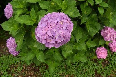 紫陽花7.jpg