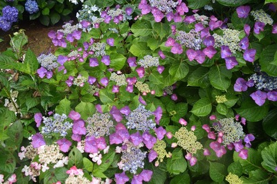紫陽花8.jpg