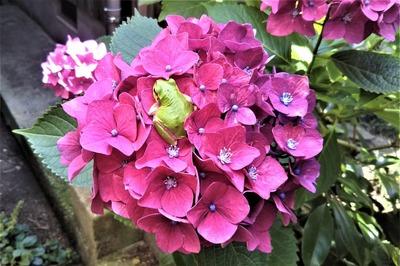 紫陽花とカエル3.6.14.jpg