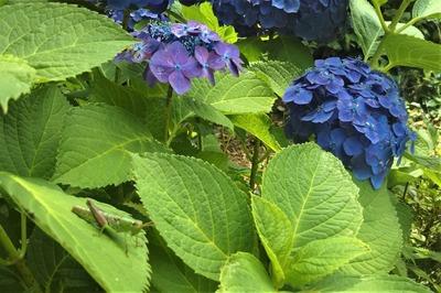 紫陽花とバッタとカエル.jpg