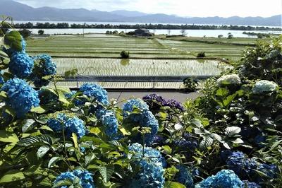紫陽花と棚田と青海湖と波の橋立9.6.16.jpg