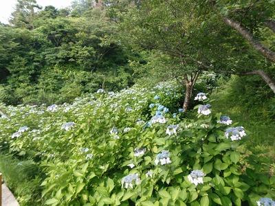 紫陽花の沢2.jpg