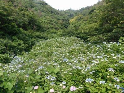 紫陽花の沢3.jpg