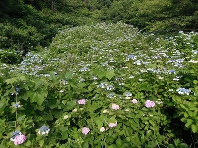 紫陽花の沢4.jpg