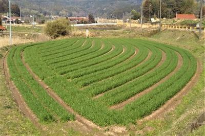 緑の麦畑1.jpg