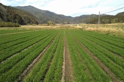 緑の麦畑3.jpg