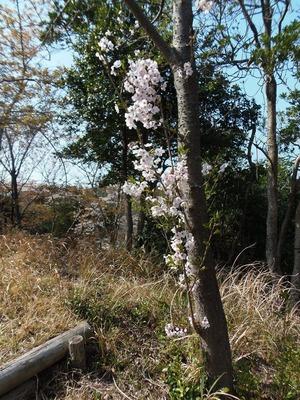 縦に咲いた桜.jpg