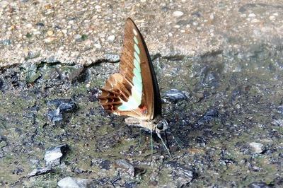 美しい蝶1.jpg