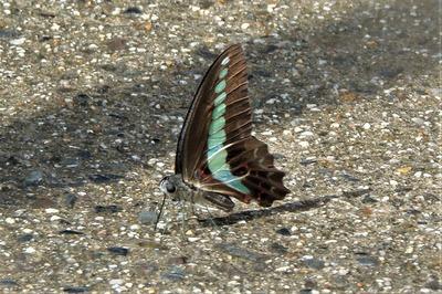 美しい蝶2.jpg