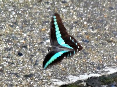 美しい蝶3.jpg