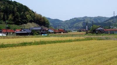 色づいた麦畑1.jpg