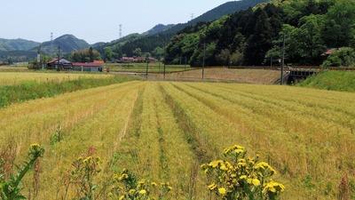 色づいた麦畑2.jpg