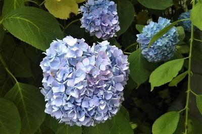 色付きだした紫陽花4.jpg