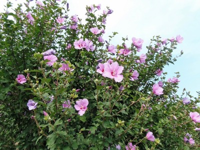 芙蓉の花1.jpg