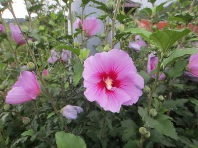 芙蓉の花4.7.5.jpg